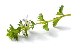 Eyebright herb. The small herb eyebright on white background Stock Photo