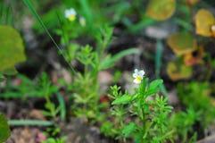 Eyebright officinalis rostkovianaEuphrasia Euphrasia στοκ φωτογραφία με δικαίωμα ελεύθερης χρήσης