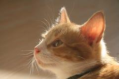 eyed κίτρινος γατών Στοκ Εικόνες