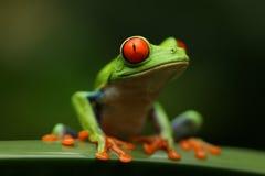eyed вал красного цвета лягушки стоковое изображение