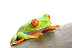 eyed вал красного цвета лягушки стоковые изображения