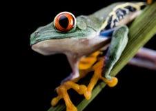 eyed вал красного цвета лягушки стоковые фото