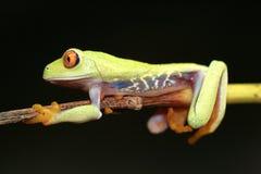 eyed вал красного цвета лягушки Стоковые Изображения RF