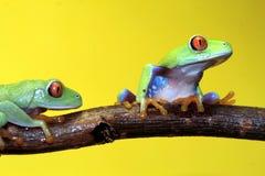 eyed вал красного цвета лягушки Стоковое Изображение RF