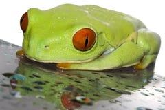 eyed вал красного цвета лягушки стоковое фото