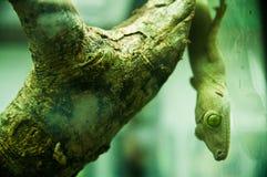 eyed ветвью висеть gecko зеленый Стоковое Изображение