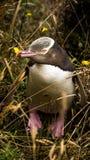 eyed желтый цвет пингвина стоковые фотографии rf