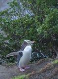 eyed желтый цвет пингвина стоковая фотография rf