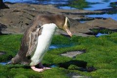 eyed желтый цвет пингвина Стоковые Изображения
