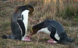 eyed желтый цвет пингвинов стоковое фото