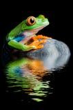 eyed изолированный лягушкой красный вал утеса стоковые изображения