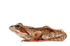 eyed изумлённый взгляд лягушки Стоковое Фото