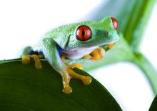 eyed красный цвет листьев лягушки стоковые изображения rf