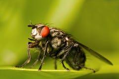 eyed красный цвет мухы Стоковые Изображения
