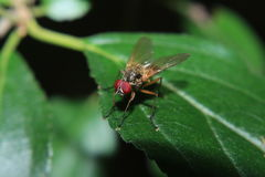 eyed красный цвет мухы Стоковое фото RF