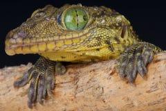 eyed кузнец зеленого цвета s gecko стоковые изображения rf