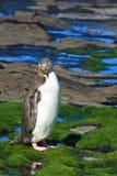 eyed пингвин представляя желтый цвет Стоковые Изображения