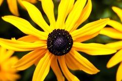 Eyed чернотой макрос цветка Сьюзана стоковое изображение rf