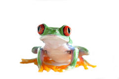 eyed вал красного цвета лягушки Стоковая Фотография RF