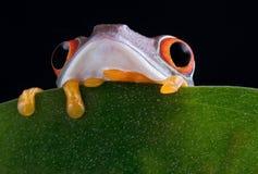 eyed boo вал красного цвета взгляда украдкой лягушки стоковое фото