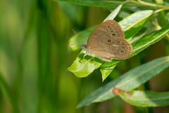Eyed Brown Butterfly. Perched on a leaf. Carden Alvar Provincial Park, Kawartha Lakes, Ontario, Canada Royalty Free Stock Photography