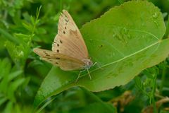 Eyed Brown Butterfly. Perched on a leaf. Carden Alvar Provincial Park, Kawartha Lakes, Ontario, Canada Stock Photography