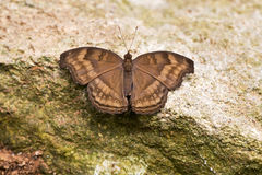 Eyed Brown Satyrodes butterfly Stock Photo