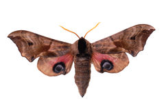 Eyed Hawk-Moth Royalty Free Stock Photos