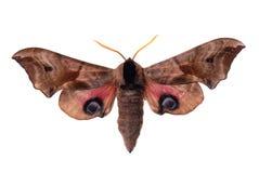 Eyed Hawk-Moth. Smerinthus ocellata, known as the Eyed Hawk-Moth royalty free stock photos