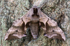 Eyed hawk-moth (Smerinthus ocellata) with hindwings hidden. Hawk moth in the family Sphingidae, camouflaged against bark when bright hindwings are covered Stock Photo