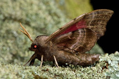 Eyed hawk-moth (Smerinthus ocellata) in profile on lichen Royalty Free Stock Image