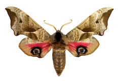 Eyed Hawk-moth (Smerinthus ocellatus) Royalty Free Stock Photos