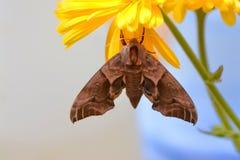 Eyed hawk moth Smerinthus ocellatus on marigold stock image