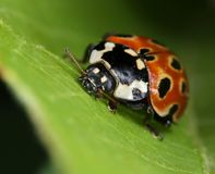 Eyed ladybird macro closeup. Eyed ladybird Anatis ocellata on green leaf macro close-up royalty free stock image
