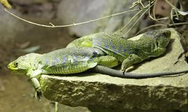 Eyed Lizard 2 Stock Photos