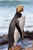 eyed penguin κίτρινο Στοκ Εικόνες