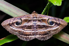 Eyed Rustic moth Stock Image