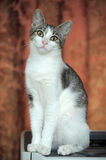 Eyed young petite kitty Royalty Free Stock Image