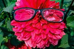 Eyeglass on dhalia flower. stock images