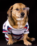 Eyeglasses dog. A eyeglasses little brown dog royalty free stock photos