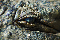 Eyeing up the prey. Adult nile crocodile, Kwazulu Natal, South Africa Stock Image