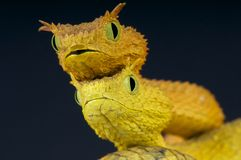 Eyelash bush snakes / Atheris ceratophora. The Eyelash bush viper is a spectacular snake species. These animals are found in the Usambara mountain range stock photo