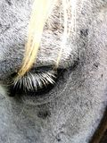 Eyelash of horse stock photo
