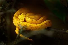 Eyelash Palm Pit Viper. Poison snake from Costa Rica. Yellow Eyelash Palm Pitviper, Bothriechis schlegeli, on green moss branch, n Stock Images