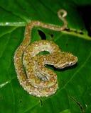 Eyelash Pit Viper, Bothriechis schlegelii Stock Images