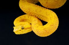 Free Eyelash Viper Royalty Free Stock Photos - 16686178