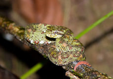 Eyelash Viper Royalty Free Stock Photos