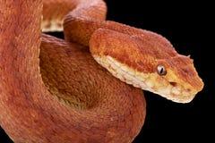 Eyelash viper (Bothriechis schlegelii) Stock Images