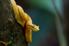 Eyelash Viper. This Eyelash Viper (Bothriechis schlegelii) patiently waits for days to weeks for a lizard or frog to pass by. Tortuguero, Costa Rica royalty free stock photography