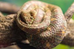 Eyelash Viper (Bothriechis Schlegelii)  slithering on a branch Stock Photos
